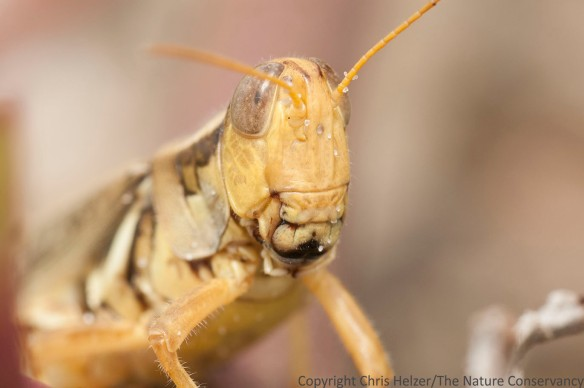 Grasshopper.  San Jose Island.  Gulf of Mexico.  Port Aransas, Texas.