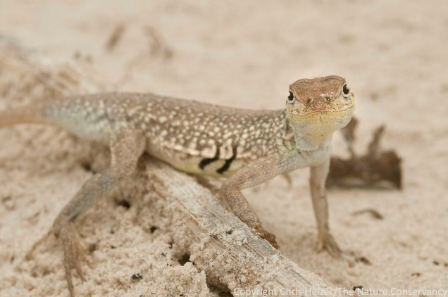 Lizard.  San Jose Island.  Gulf of Mexico.  Port Aransas, Texas.