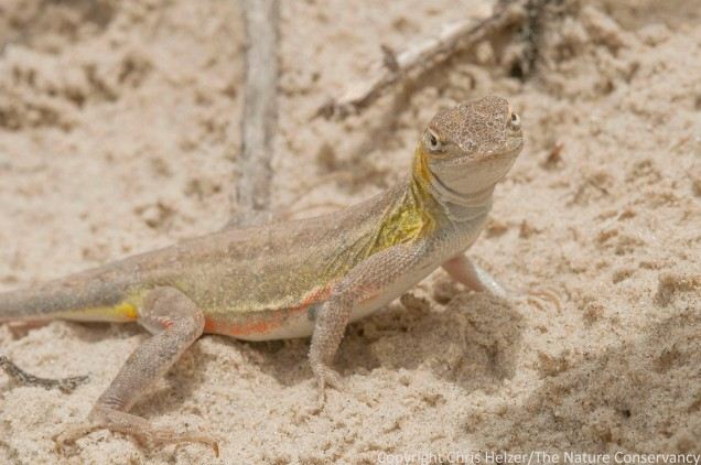 Lizard in the dunes along the beach at Padre Island National Seashore.  Gulf coast of Texas near Corpus Christi.