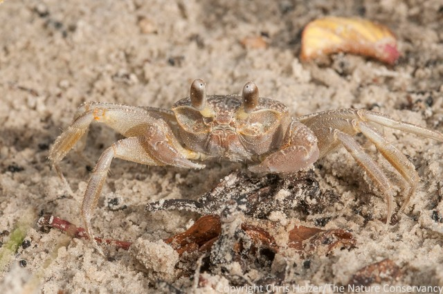 Crab at Padre Island National Seashore.  Corpus Christi, Texas.