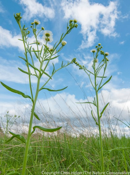 Daisy fleabane (erigeron strigosus).  Lincoln Creek Prairie.  Aurora, Nebraska.