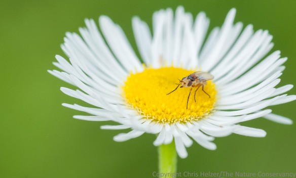 Fly on Daisy fleabane (erigeron strigosus).  Lincoln Creek Prairie.  Aurora, Nebraska.