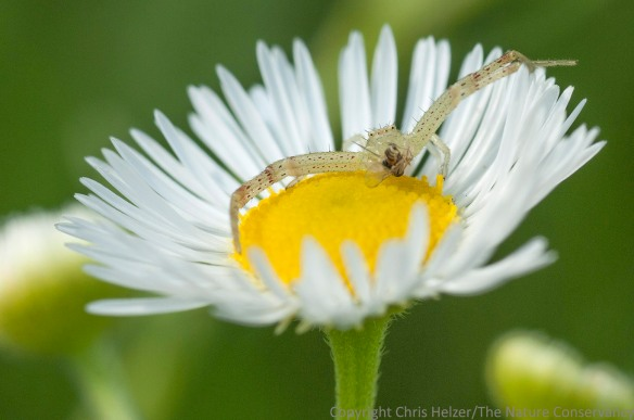 Crab spider on daisy fleabane.  Lincoln Creek Prairie.  Aurora, Nebraska.