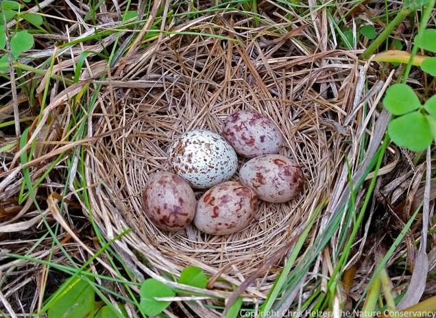 Bobolink nest hiding in the grass - Platte River Prairies, Nebraska.
