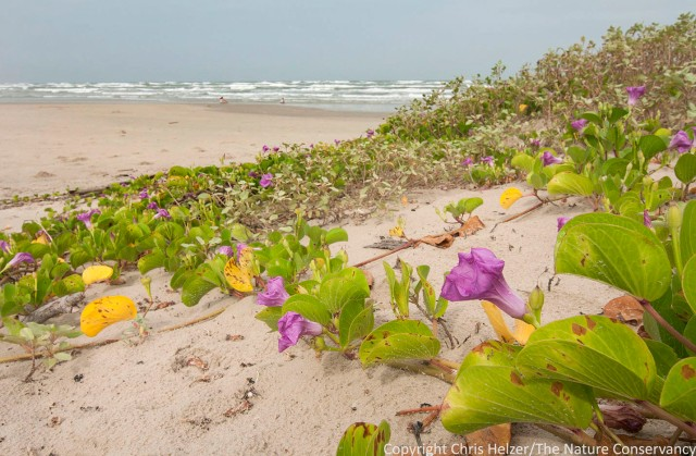 Railroad vine in bloom at Padre Island National Seashore, Texas.