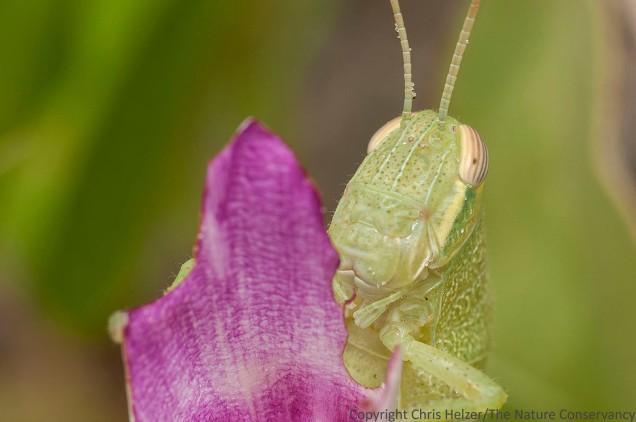 Grasshopper feeding on railroad vine flowers.  San Jose Island, Texas.