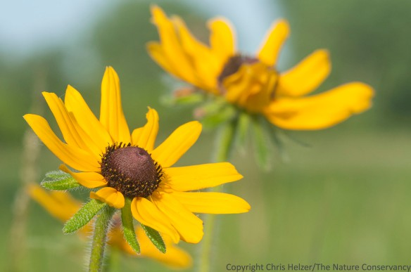 Black-eyed Susan flowers (Rudbeckia hirta).  The Nature Conservancy's Platte River Prairies, Nebraska.