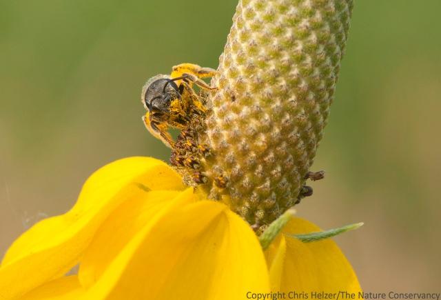 Bee on upright prairie coneflower.  The Nature Conservancy's Platte River Prairies, Nebraska.