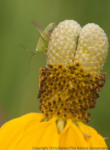 Katydid nymph on upright prairie coneflower.  The Nature Conservancy's Platte River Prairies, Nebraska.