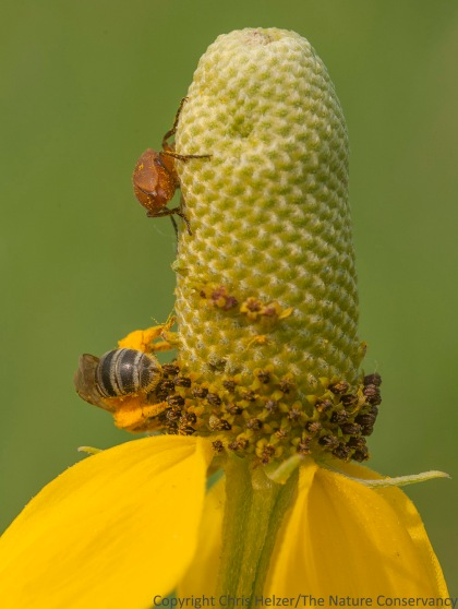 Bee and beetle on upright prairie coneflower.  The Nature Conservancy's Platte River Prairies, Nebraska.
