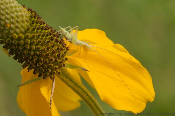 Tree cricket nymph on upright prairie coneflower.  The Nature Conservancy's Platte River Prairies, Nebraska.