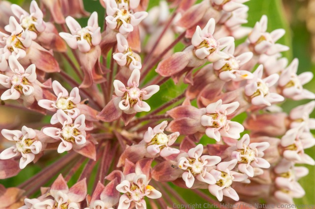 Common milkweed (Asclepias syriaca)  The Nature Conservancy's Platte River Prairies, Nebraska.