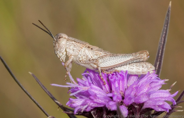 Grasshopper on blazing star (Liatris squarrosa)  The Nature Conservancy's Platte River Prairies, Nebraska.