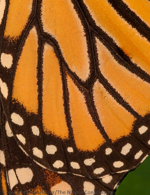 The cool dewy morning allowed me to get pretty close to this resting monarch butterfly...