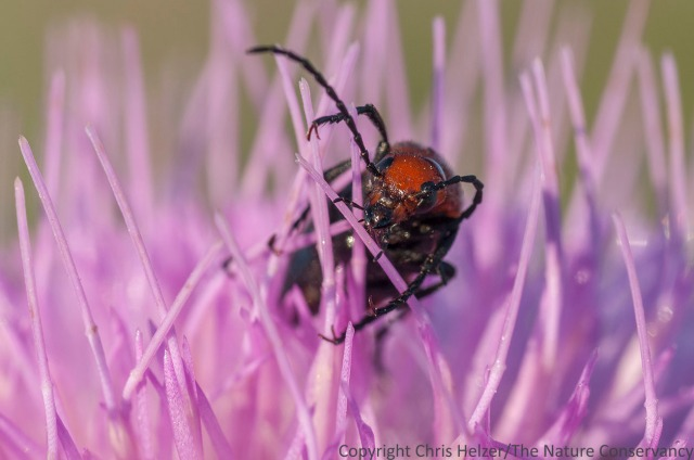 Beetle on Flodman's thistle.  TNC Bluestem Prairie, Minnesota.