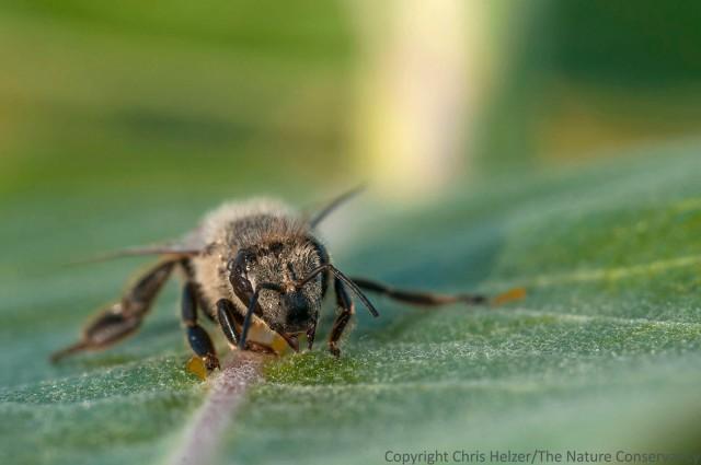 Bee on milkweed.  TNC Bluestem Prairie, Minnesota.
