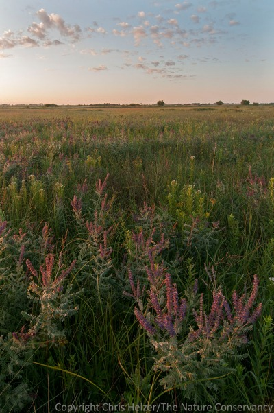 Leadplant and wildflowers.  TNC Bluestem Prairie, Minnesota.