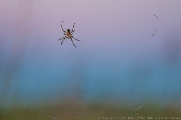 Spider on web before sunrise.  The Nature Conservancy's Bluestem Prairie - Minnesota.