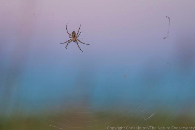 Spider on web before sunrise.  The Nature Conservancy's Bluestem Prairie - Minnesota.