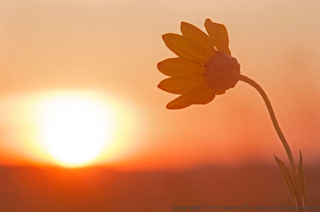 Stiff sunflower (Helanthus pauciflorus) at sunrise.  The Nature Conservancy's Bluestem Prairie - Minnesota.