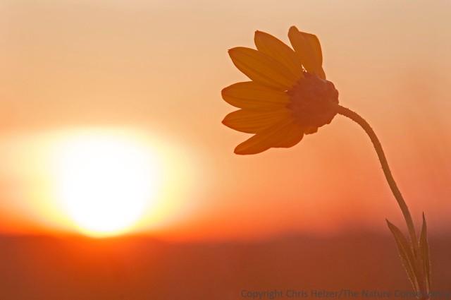 Stiff sunflower (Helanthus pauciflorus) at sunrise.  The Nature Conservancy's Bluestem Prairie - Minnesota.