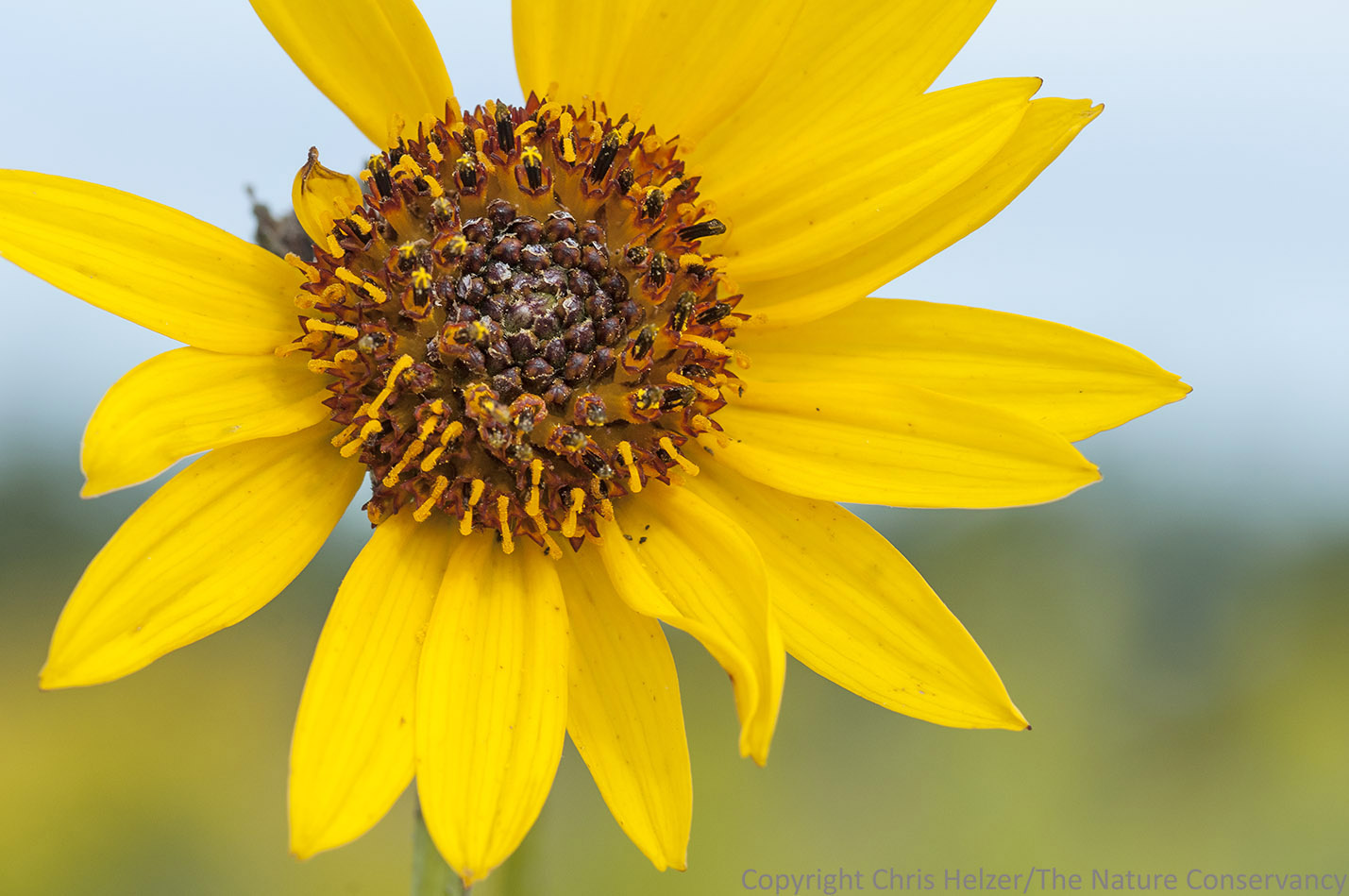 Double Flowered Sunflowers The Prairie Ecologist