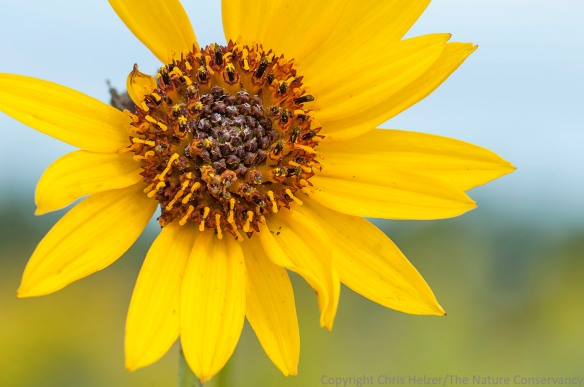 Stiff sunflower.  The Nature Conservancy's Platte River Prairies, Nebraska.
