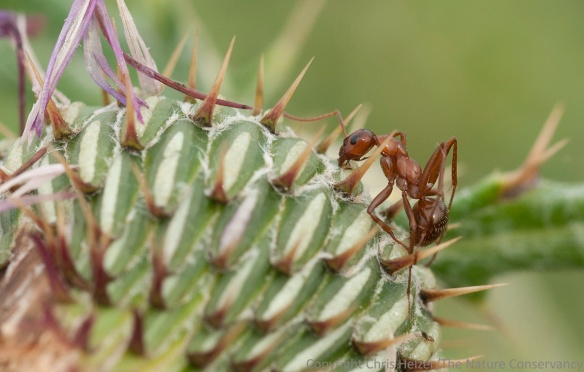 Dead ant stuck to bottom of wavy-leaf thistle flower. Helzer family prairie near Stockham, Nebraska.