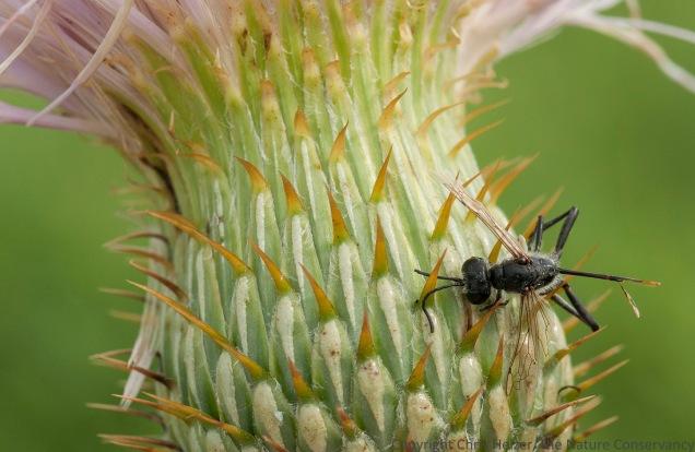 Dead bee on bottom of wavy-leaf thistle flower. Helzer family prairie near Stockham, Nebraska.