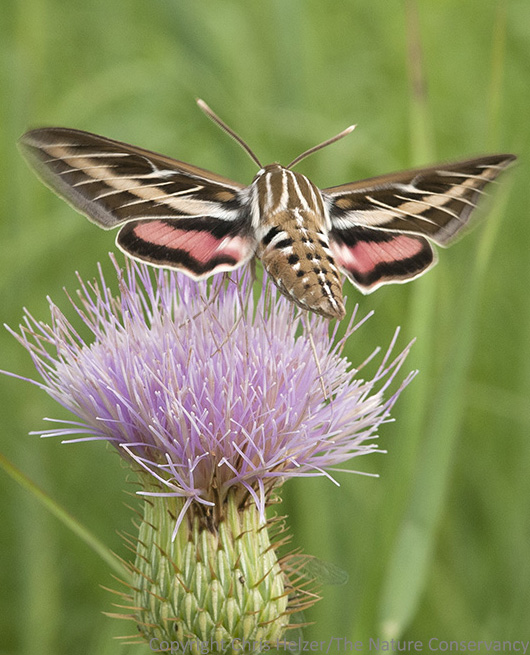 Sphinx moth on wavy-leaf thistle flower. Helzer family prairie near Stockham, Nebraska.