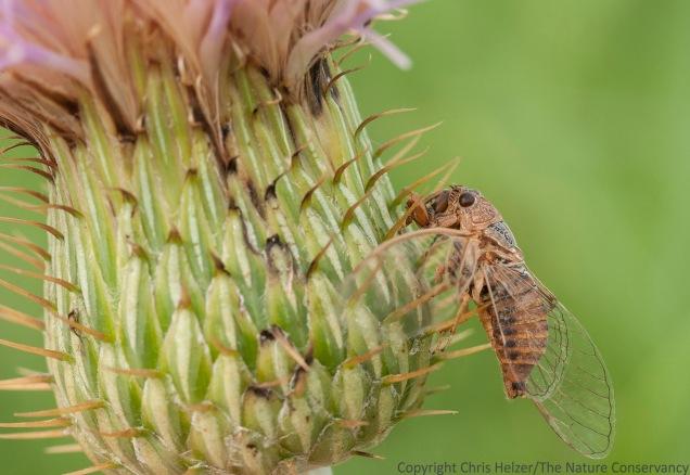Dead cicada on bottom of wavy-leaf thistle flower. Helzer family prairie near Stockham, Nebraska.