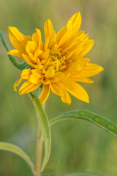 Maximilian sunflower.  TNC Bluestem Prairie, Minnesota.