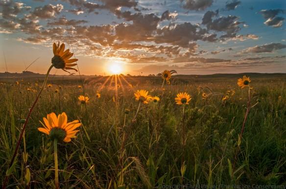 Sunrise in sand prairie.  TNC Platte River Prairies, Nebraska.