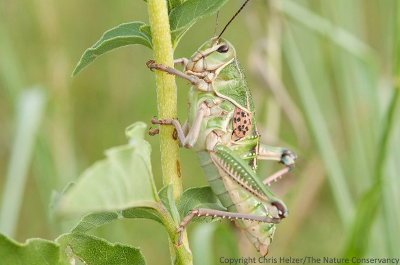 Lubber grasshopper. Cherry county ranch of Jim VanWinkle, Nebraska.