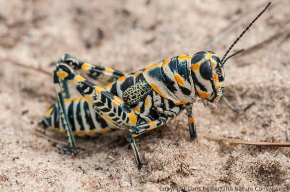 Painted grasshopper at the Valentine National Wildlife Refuge. Nebraska.