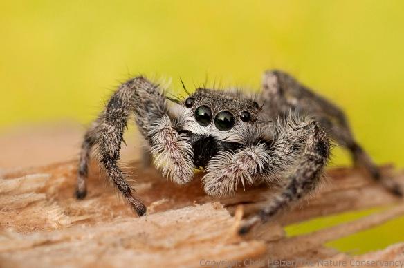 Jumping spider. Helzer yard. Aurora, Nebraska.