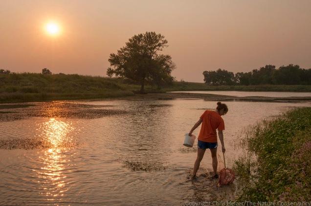 Kim Helzer collecting aquatic invertebrates in wetland at sunset. Helzer Prairie, Stockham, Nebraska.