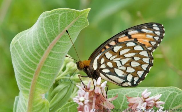 Regal fritillary butterfly on milkweed at Helzer prairie, south of Aurora, Nebraska.