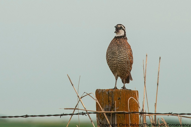 Northern bobwhite on fence post. Helzer family prairie near Stockham, Nebraska.