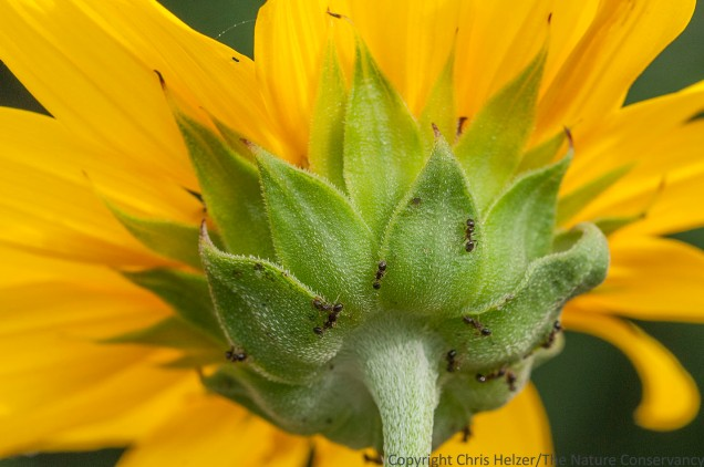 Ants looking for extrafloral nectar on annual sunflower. Valentine National Wildlife Refuge, Nebraska.