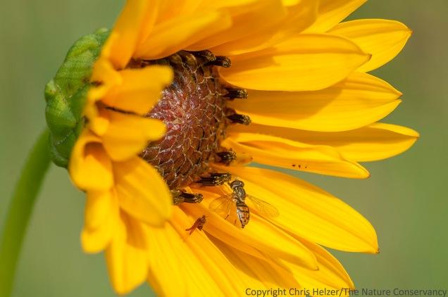 Hover fly on Stiff sunflower (Helianthus pauciflorus) Lincoln Creek Prairie, Aurora, Nebraska.