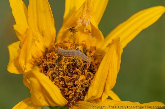 Caterpillar in Stiff sunflower (Helianthus pauciflorus) Lincoln Creek Prairie, Aurora, Nebraska.