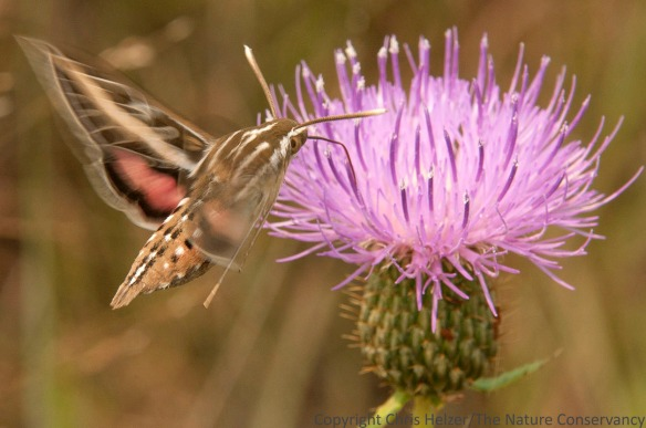 Sphinx moth. Deep Well Wildlife Management Area.