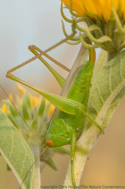 Katydid. Deep Well Wildlife Management Area.
