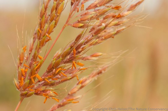 Indiangrass. Deep Well Wildlife Management Area.