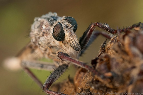 Robberfly. TNC Platte River Prairies, Nebraska.