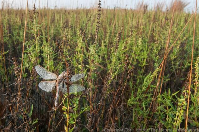 Dragonfly and dew. TNC Platte River Prairies, Nebraska.