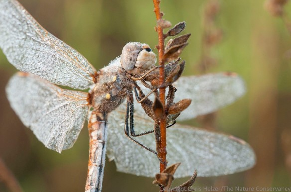 Dragonfly and dew. TNC Platte River Prairies, Nebraska.