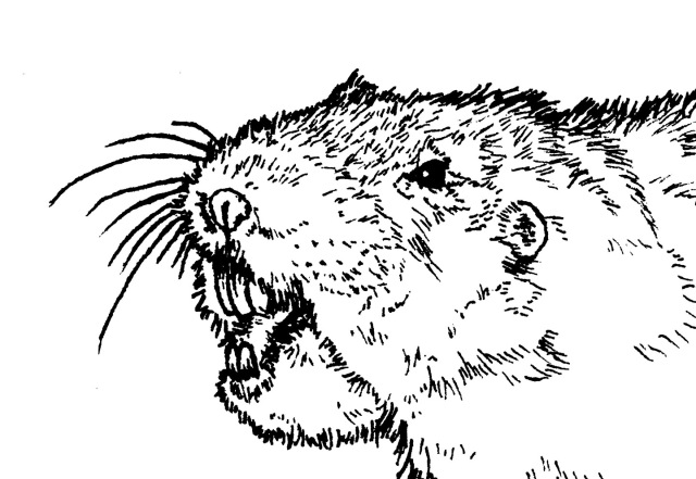 pocket gopher head