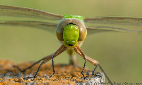 Green darners, and many other dragonfly species, migrate long distances. So do a number of moths and butterflies. Other invertebrates can also travel long distances. Does that make them more or less reliant on large prairie blocks?